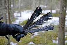 Metson pyrstösulkia Kyöpelinvuorella, muistona keväisestä yhteenotosta soitimella.